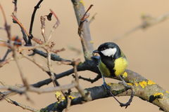 Great tit perched on twig Stock Image