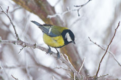 Great tit perching on branch. Great tit (Parus major) perching on a branch in a snowbound winter forest Royalty Free Stock Photography