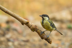Great Tit perching on branch Stock Photo