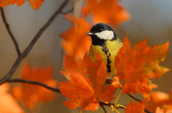 Great Tit. The picture was taken in Hungary Royalty Free Stock Photos