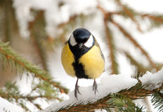 A Great Tit on a pine Stock Images