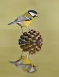 Great Tit between pinecone.. Royalty Free Stock Photo