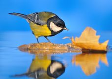 Great Tit pissed. Royalty Free Stock Photography
