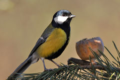 Great tit with poppy seeds Stock Image