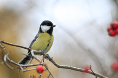 Great tit portrait in bush. Great tit portrait with red berries Stock Photos
