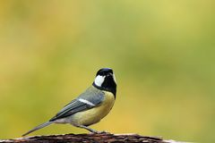 Great tit portrait Royalty Free Stock Image