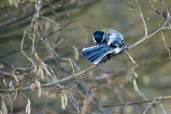 Great Tit Preening Stock Photography