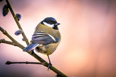 Great tit on pussy willow in vintage colors Royalty Free Stock Photography