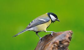 Great tit in the rain. Stock Photo