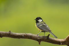Great Tit in the rain. Royalty Free Stock Image