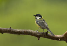 Great Tit in the rain. Royalty Free Stock Photos