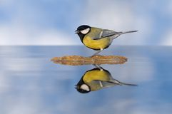 Great tit is reflected in water Stock Images