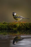 Great tit reflections Stock Photos