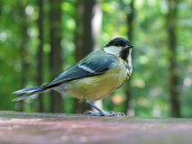 Great tit rests on table Royalty Free Stock Photography
