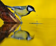 Great tit on river. Royalty Free Stock Photos