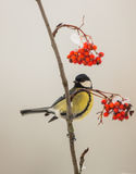 Great Tit on Rowan branch Stock Image