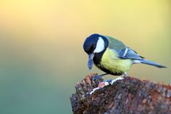 Great tit with seed in beak Royalty Free Stock Image