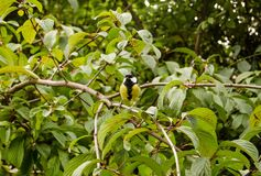 Great Tit in shrub stock photography