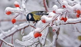 Great Tit sits in deep snow on icy branches royalty free stock photos