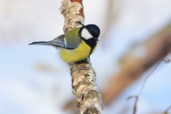 Great tit sits on a dry branch of birch sun reflect in eye. Great tit Parus major sits on a dry branch of birch sun reflect in eye Stock Image