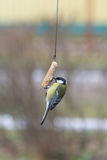 Great Tit sits on a piece lard. Royalty Free Stock Images