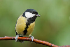Great tit sitting on a branch Stock Images
