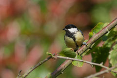 Great tit sitting on a branch Royalty Free Stock Photo
