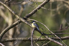Great tit sitting on a branch Stock Photo