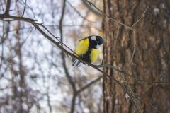 Great tit is sitting on a branch in the forest royalty free stock photo