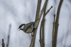 Great tit (parus major) Royalty Free Stock Photography