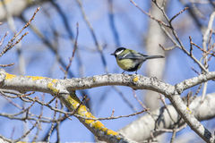 Great tit, parus major (crop image) Stock Photos