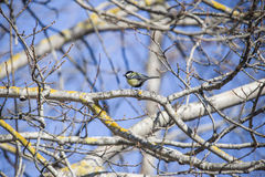 Great tit, parus major Royalty Free Stock Photography
