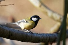 A Great Tit Sitting on a Branch. In a Tree royalty free stock photo