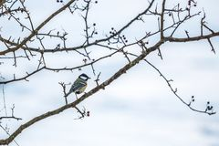 Great tit sitting on a branch royalty free stock photography