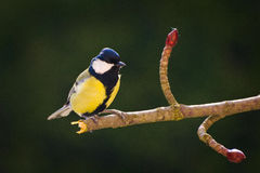 Great Tit Sitting on a Branch Stock Image