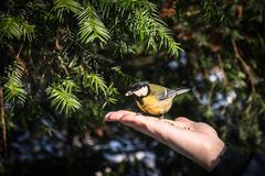 A great tit sitting on a hand and holding seed in beak. A great tit sitting on a hand and holding sunflower seed in beak Royalty Free Stock Photo