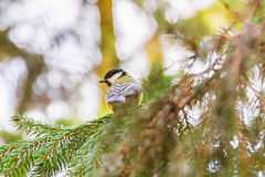 Great tit is sitting on spruce branch Royalty Free Stock Image
