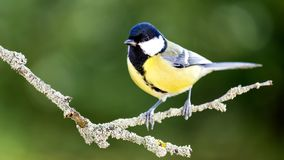 Great tit in the Autumn Forest. The great tit sitting on tree branch Royalty Free Stock Image