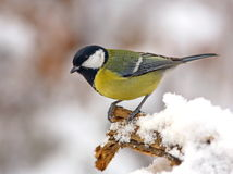 Great tit in snow Royalty Free Stock Photos