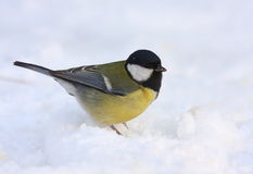 Great tit on snow Royalty Free Stock Image