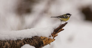 Great Tit with snow Stock Photography