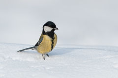 Great tit in the snow Stock Photos