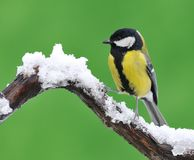 Great tit in the snow. Royalty Free Stock Photos