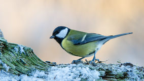 Great Tit on Snow Royalty Free Stock Images