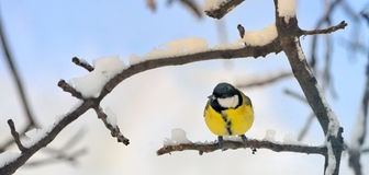Great tit on a snowy branch Stock Photography