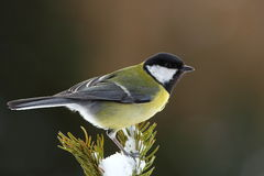 Great tit on a snowy fir branch Royalty Free Stock Photo