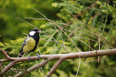 Great tit with spider Stock Images