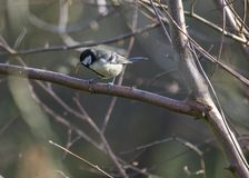 Great Tit Stock Image