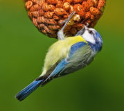 The Great tit in springtime Royalty Free Stock Image