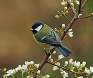 Great Tit in springtime Royalty Free Stock Photography